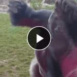 動物園でゴリラが猛突進してきた結果!!!超恐ろしい事にΣ(゚Д゚)