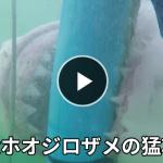 【大迫力】巨大なホオジロザメが檻を噛み砕いてダイバーを攻撃!!!?