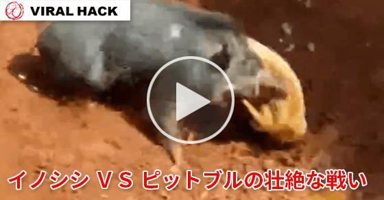 イノシシ VS ピットブルの壮絶な戦い