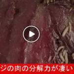 【驚異的!】 ウジが肉を分解するタイムラプス映像 ⇒ ものすごい分解力!